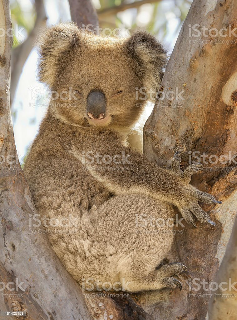 Koala snoozing in a tree stock photo