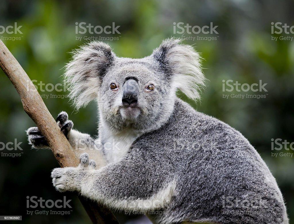 koala stare stock photo