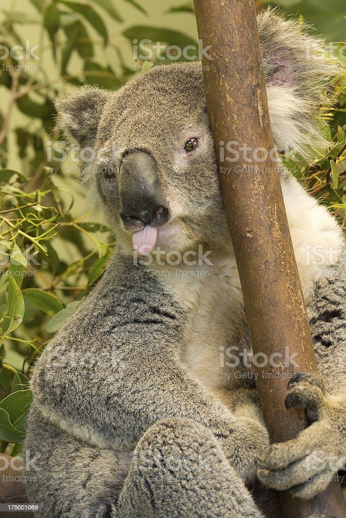 Koala sticking tongue out stock photo