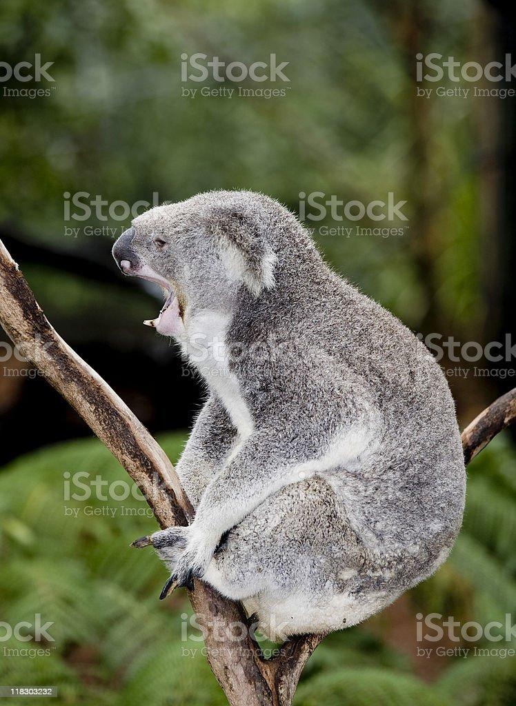 koala teeth decay royalty-free stock photo