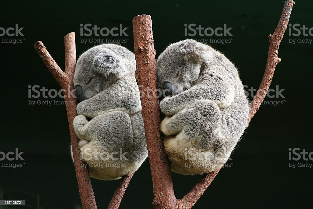 Koala together stock photo