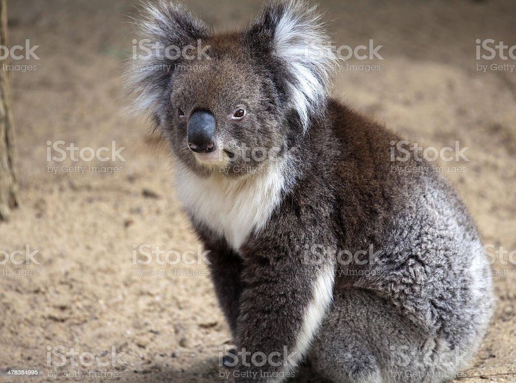 Koala walking on the ground stock photo
