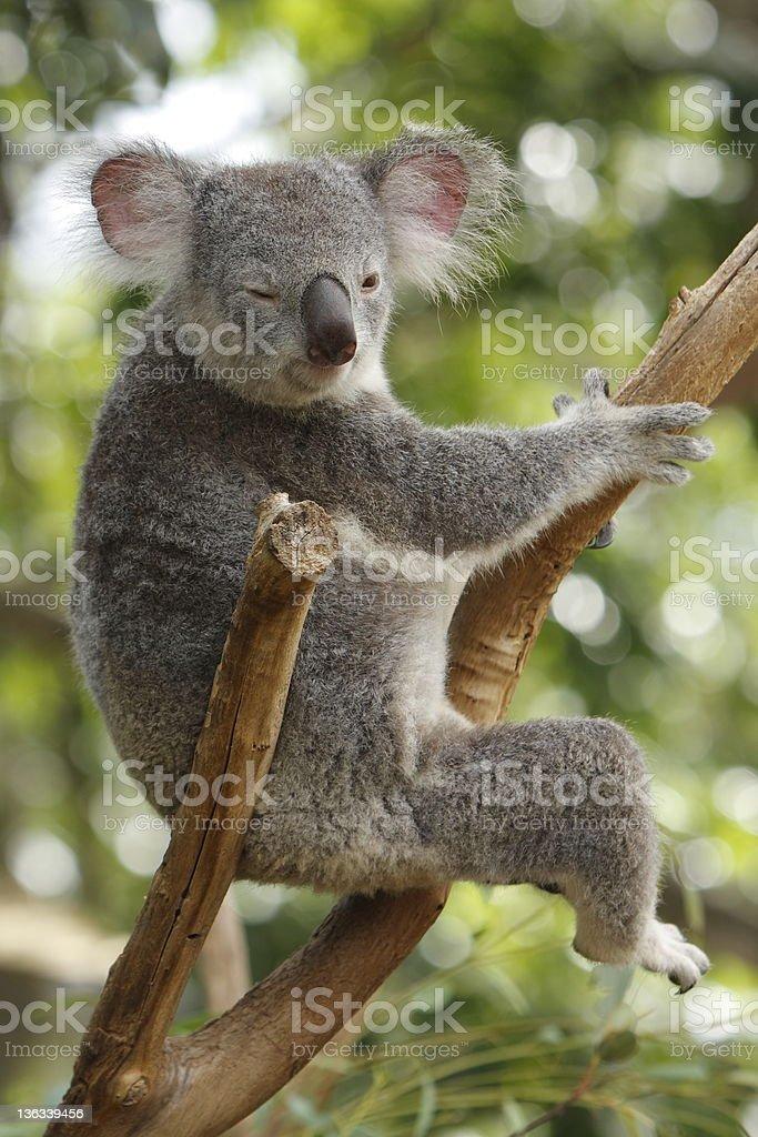 Koala Winking royalty-free stock photo