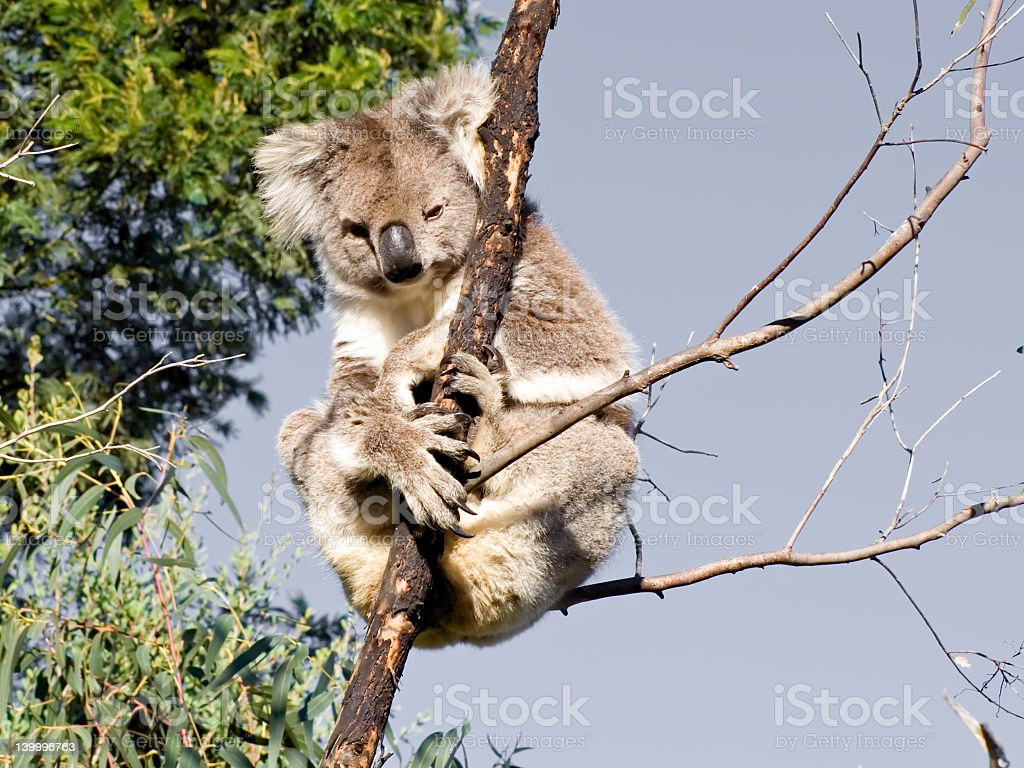 Koala with attitude royalty-free stock photo