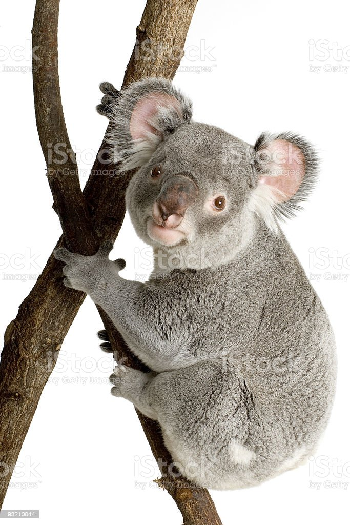 Koala with firm grip to a tree branch royalty-free stock photo