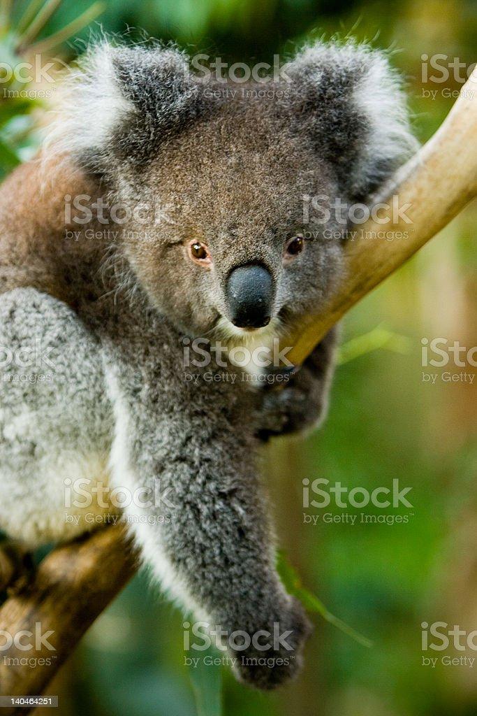 Koalas 4 royalty-free stock photo