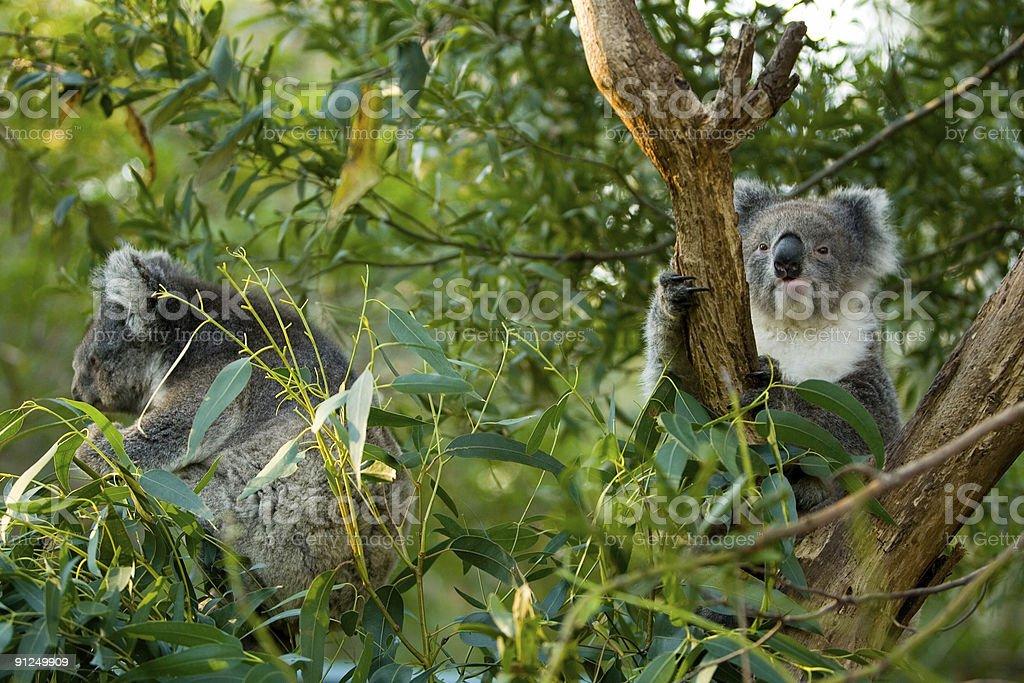 Koalas 7 royalty-free stock photo