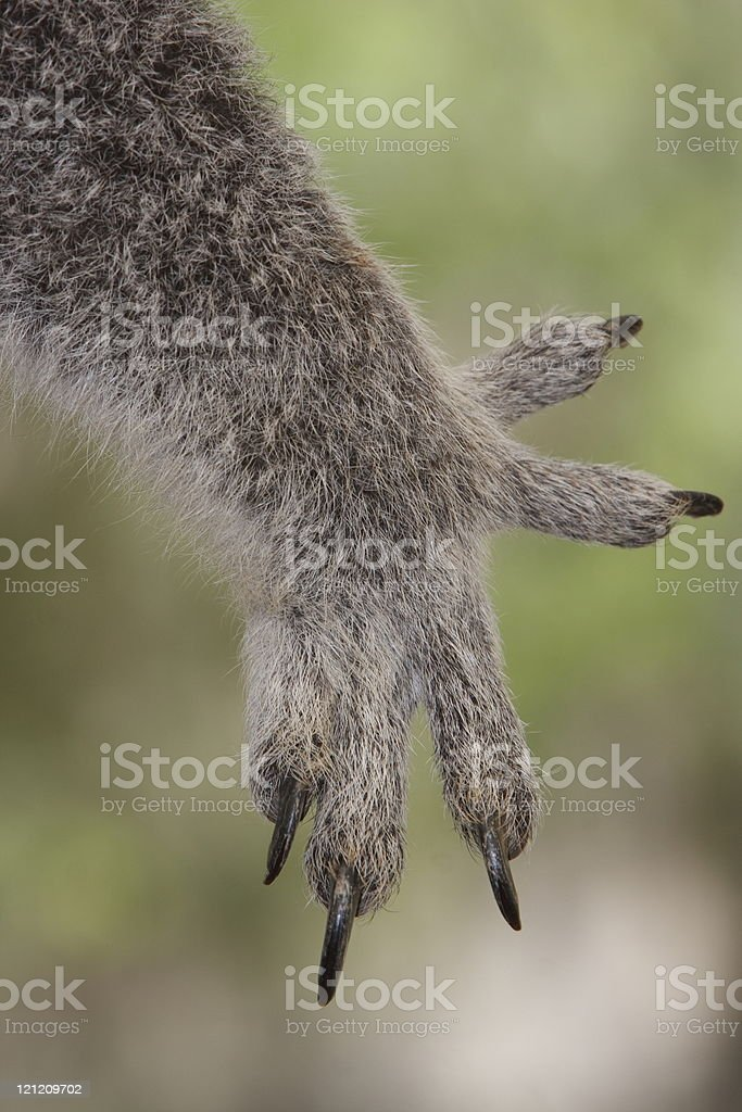 Koalas hand and claws royalty-free stock photo