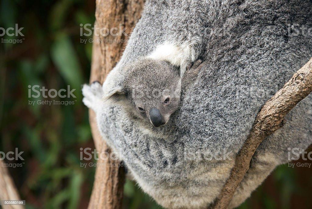 Koalas (Phascolarctos cinereus) in Australia stock photo