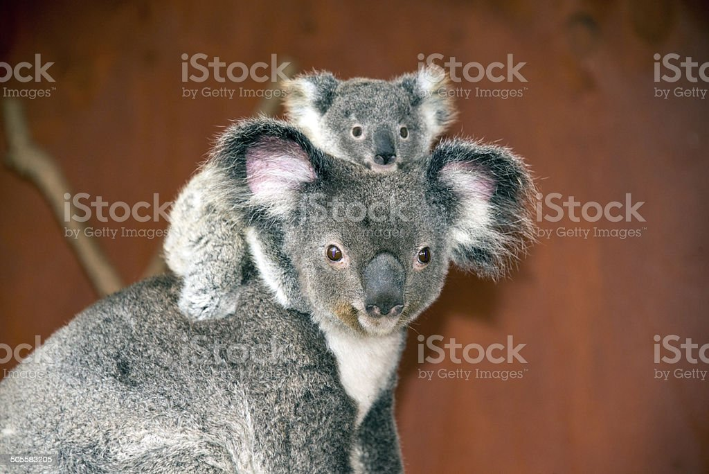 Koalas (Phascolarctos cinereus) in Australia stock photo