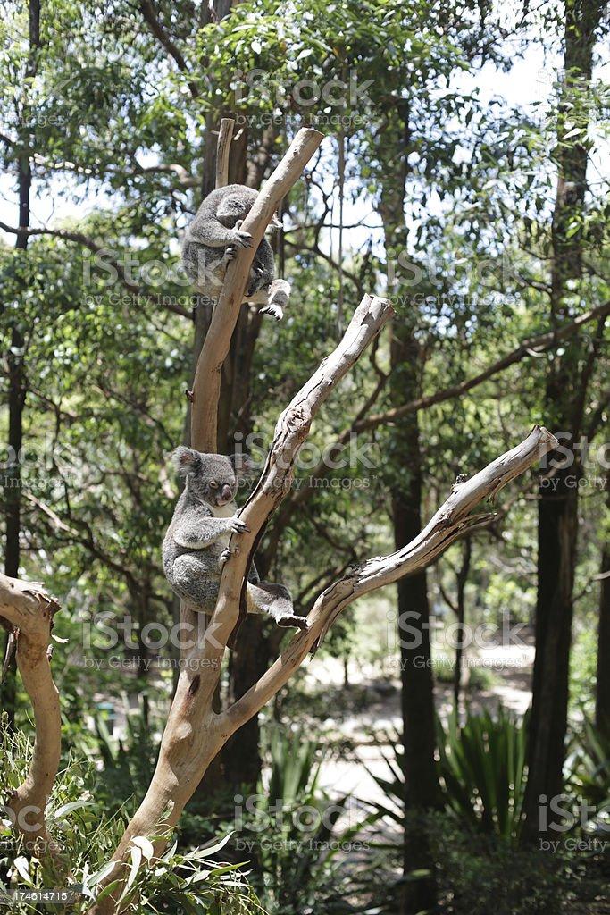 Koalas royalty-free stock photo