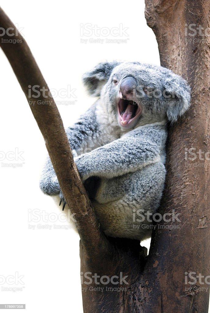 Koala's yawn royalty-free stock photo