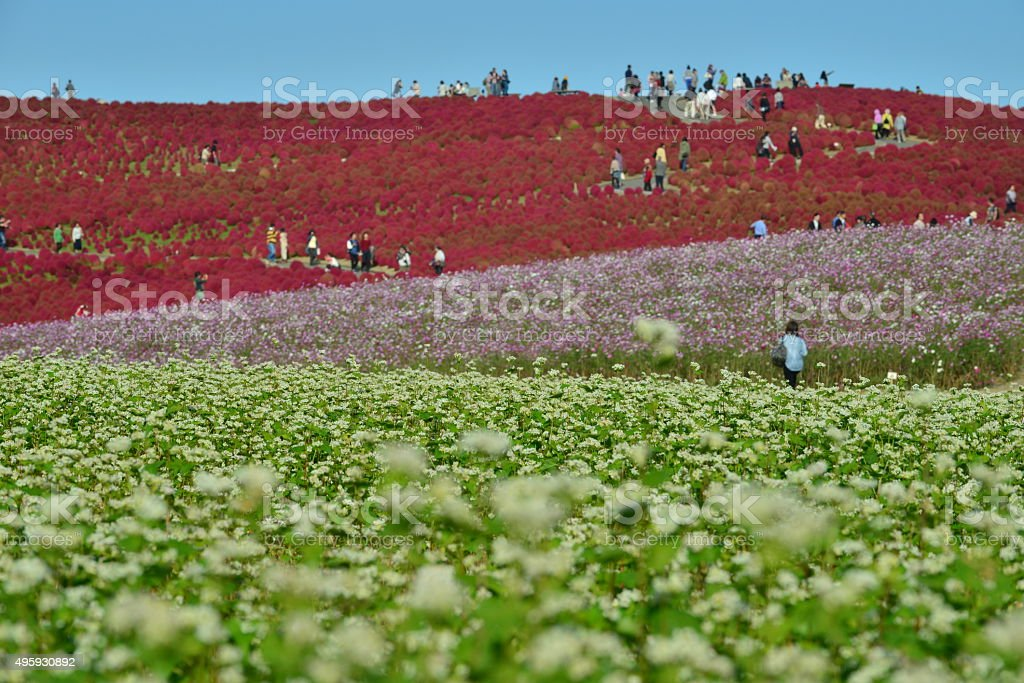 Kochia, Cosmos and Buckwheat Flowers Field, Hitachi Seaside Park stock photo