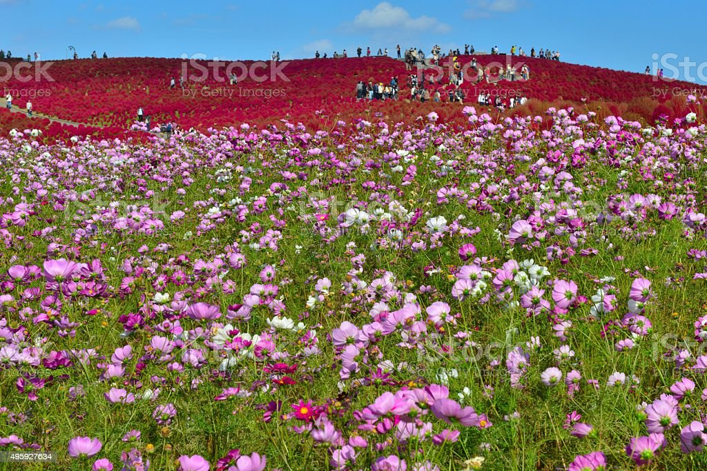 Kochia scoparia and Cosmos Field, Hitachi Seaside Park stock photo