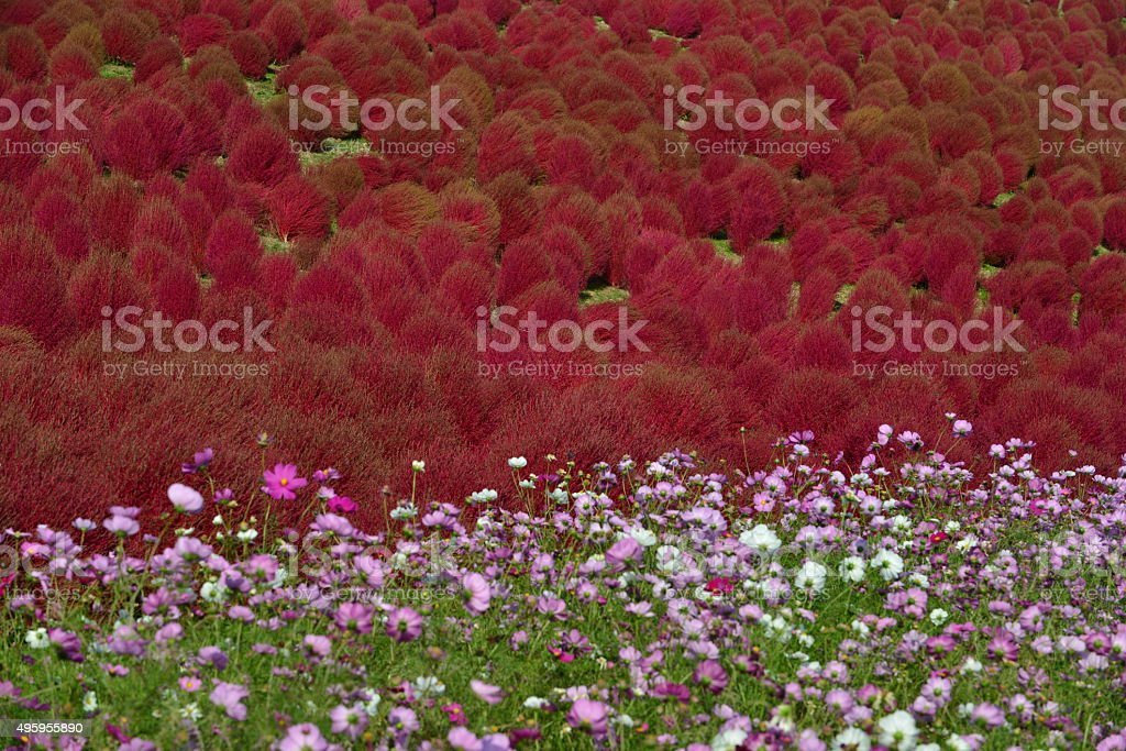 Kochia scoparia and Cosmos Flowers, Hitachi Seaside Park stock photo