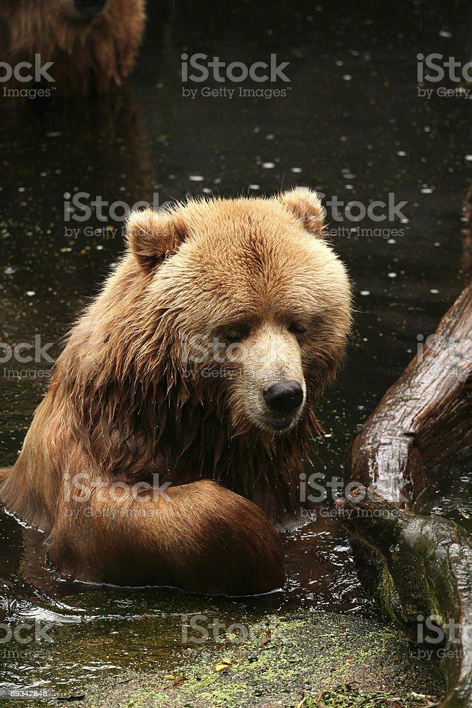 Kodiak Bear in the water royalty-free stock photo