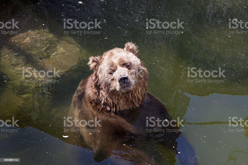 Kodiak Bear royalty-free stock photo