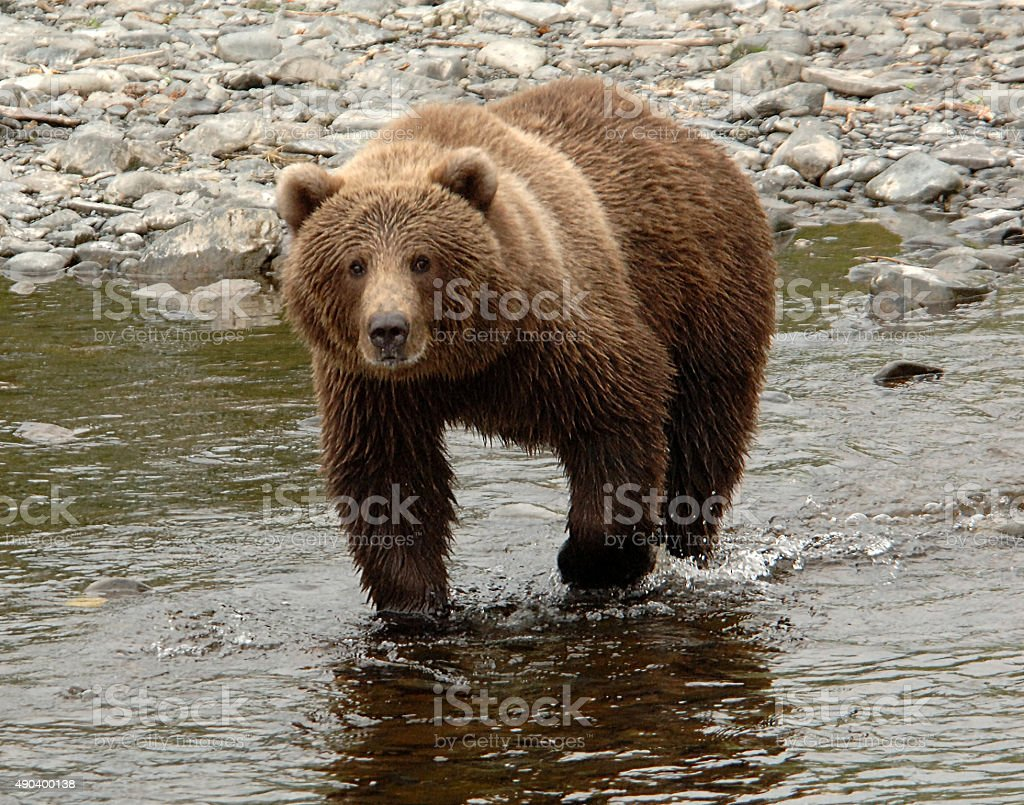 Kodiak Bear Prowling In The Stream stock photo