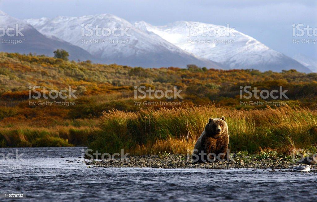kodiak brown bear stock photo