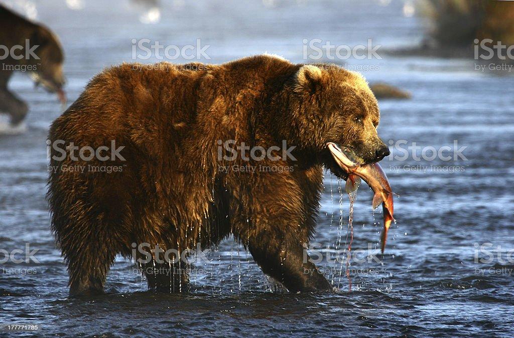 kodiak brown bear royalty-free stock photo