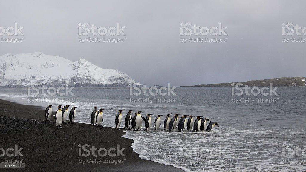 Koenigspinguin, Aptenodytes patagonicus, King penguin royalty-free stock photo