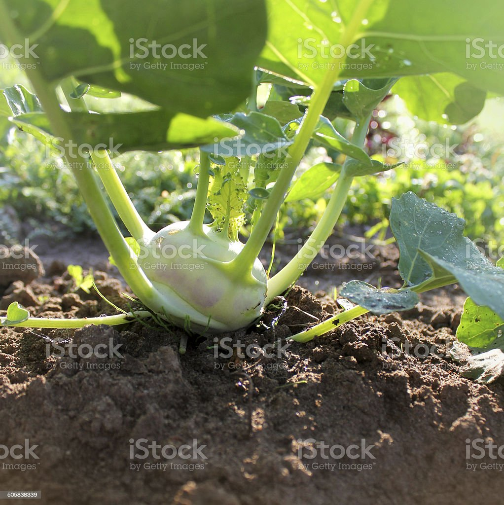 kohlrabi growing in the garden stock photo