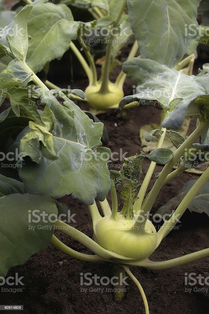 Kohlrabi stock photo