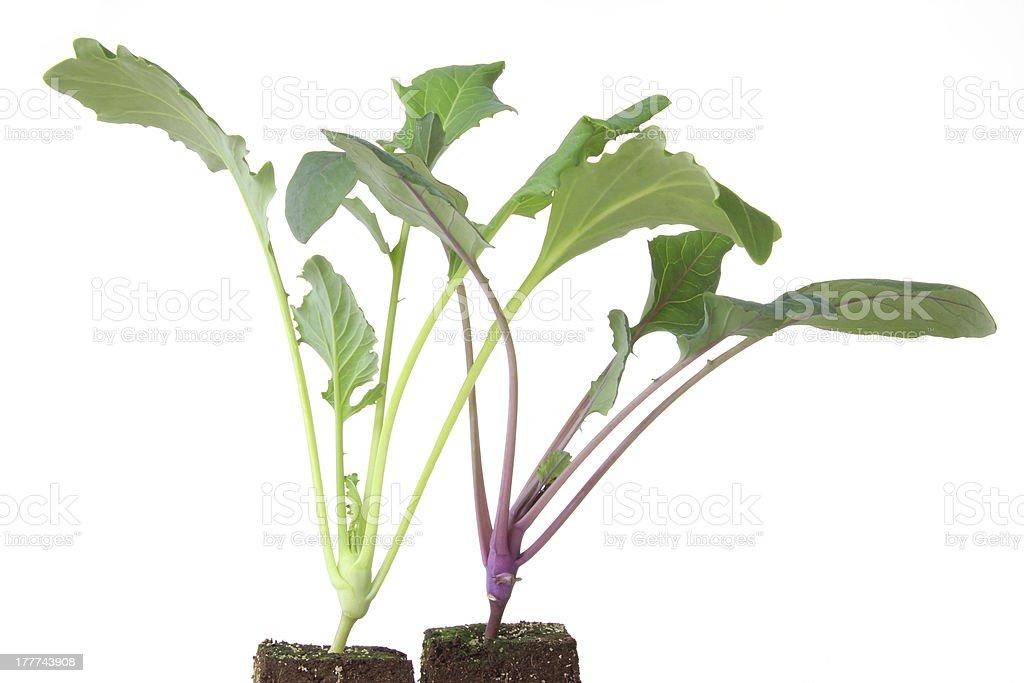 Kohlrabi seedlings stock photo