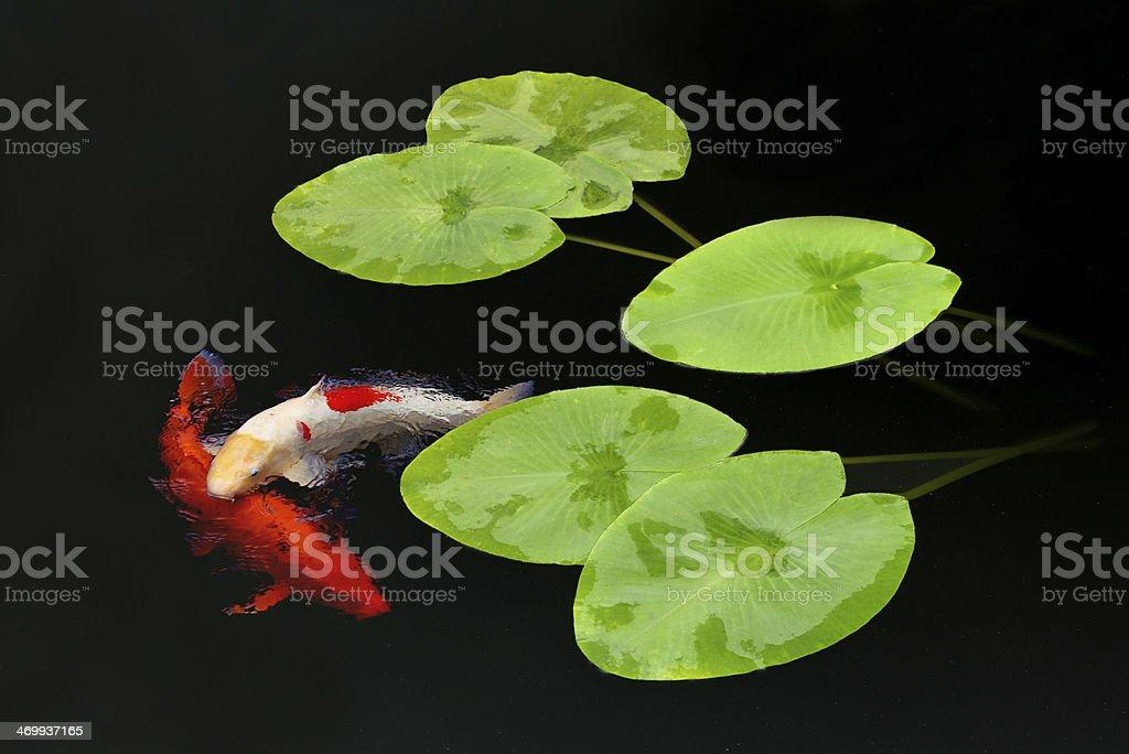 koi Carp and lily pads stock photo