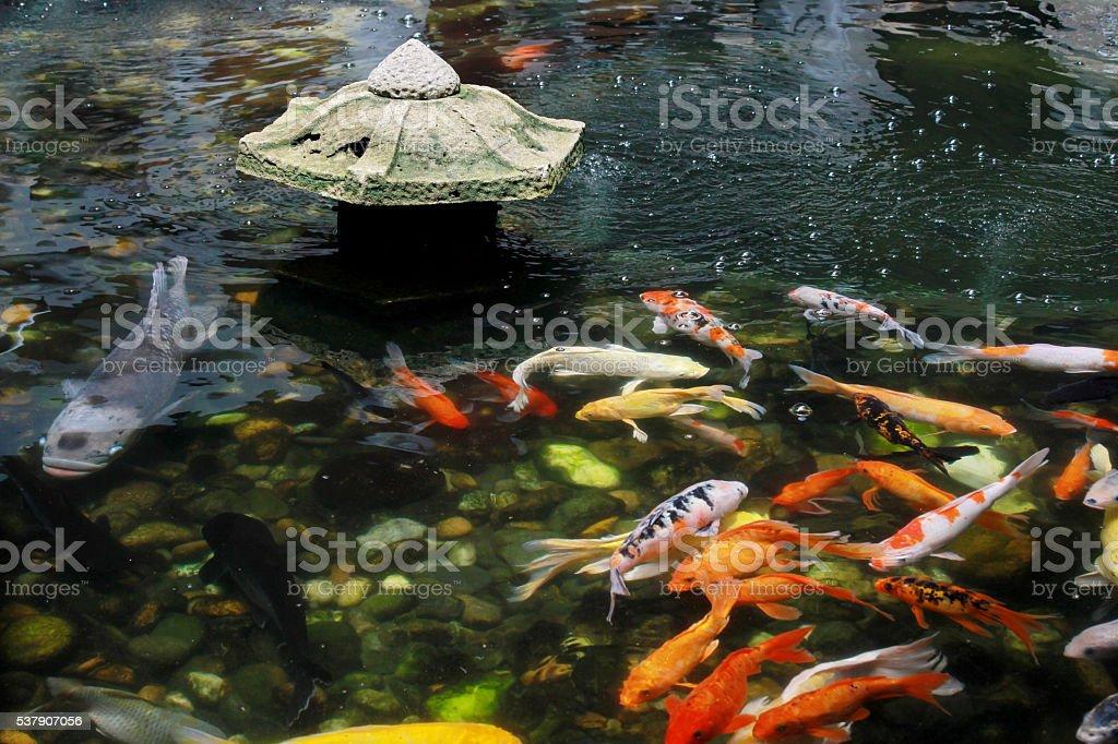 Koi Carp in pond stock photo