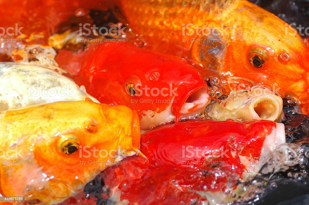 Koi Carp royalty-free stock photo