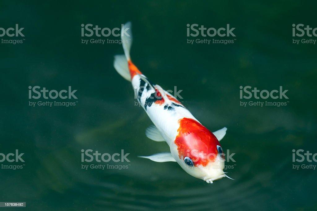 Koi carp stock photo