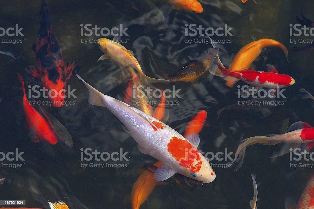 Koi Carps Fish Japanese swimming (Cyprinus carpio) stock photo