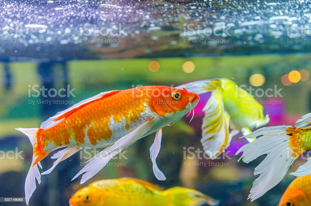 koi carps fish stock photo