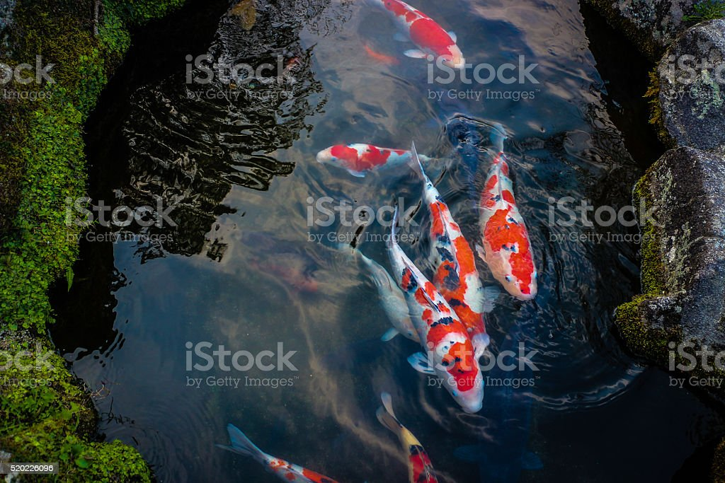 Koi Carps Fishs Japanese swimming in the pool stock photo