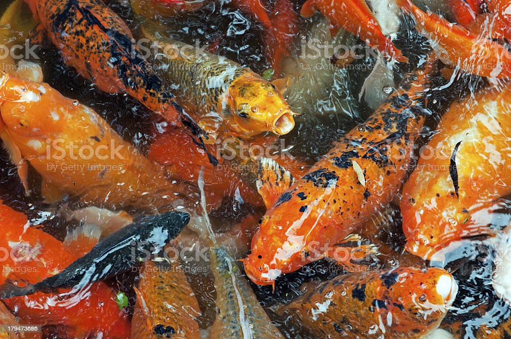 Koi eating food from pond surface on Oahu royalty-free stock photo