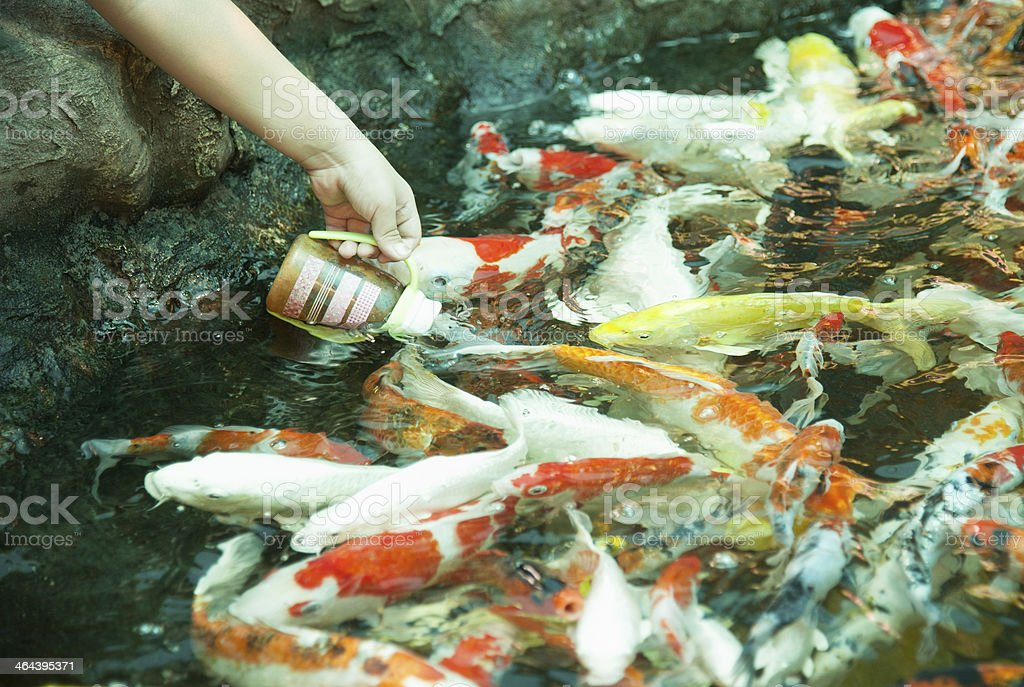 koi eating from hand royalty-free stock photo