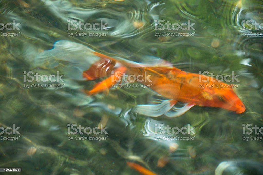 Koi fish and goldfish - abstract photo in pond_7 stock photo