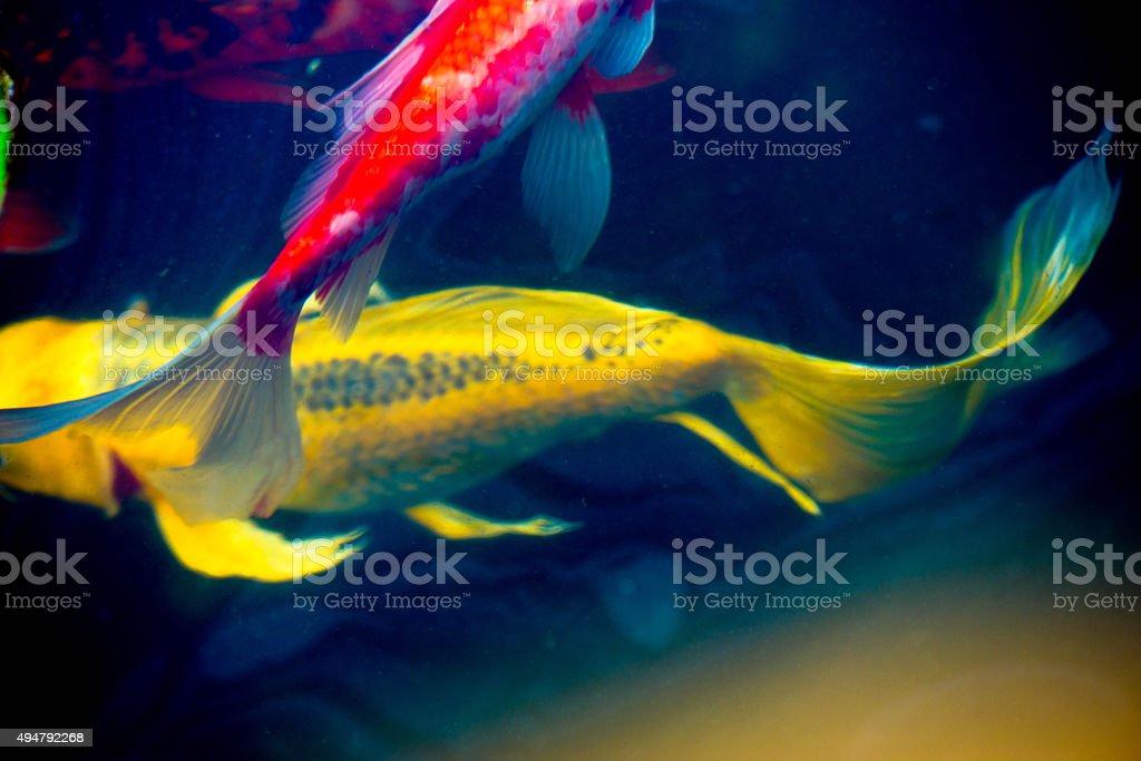 Koi fish and goldfish in pond under water swimming stock photo