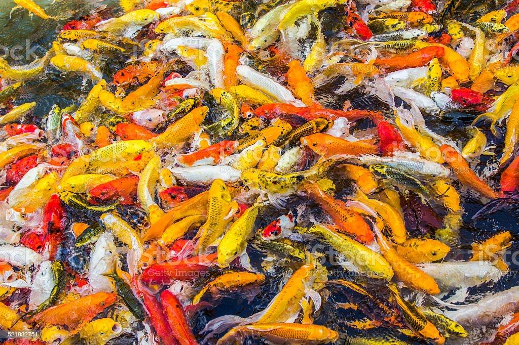 Koi fish colorful swim on the pond, soft focus stock photo