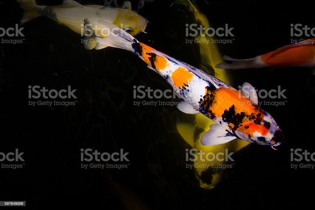 Koi fish feeding and relaxing water garden. stock photo