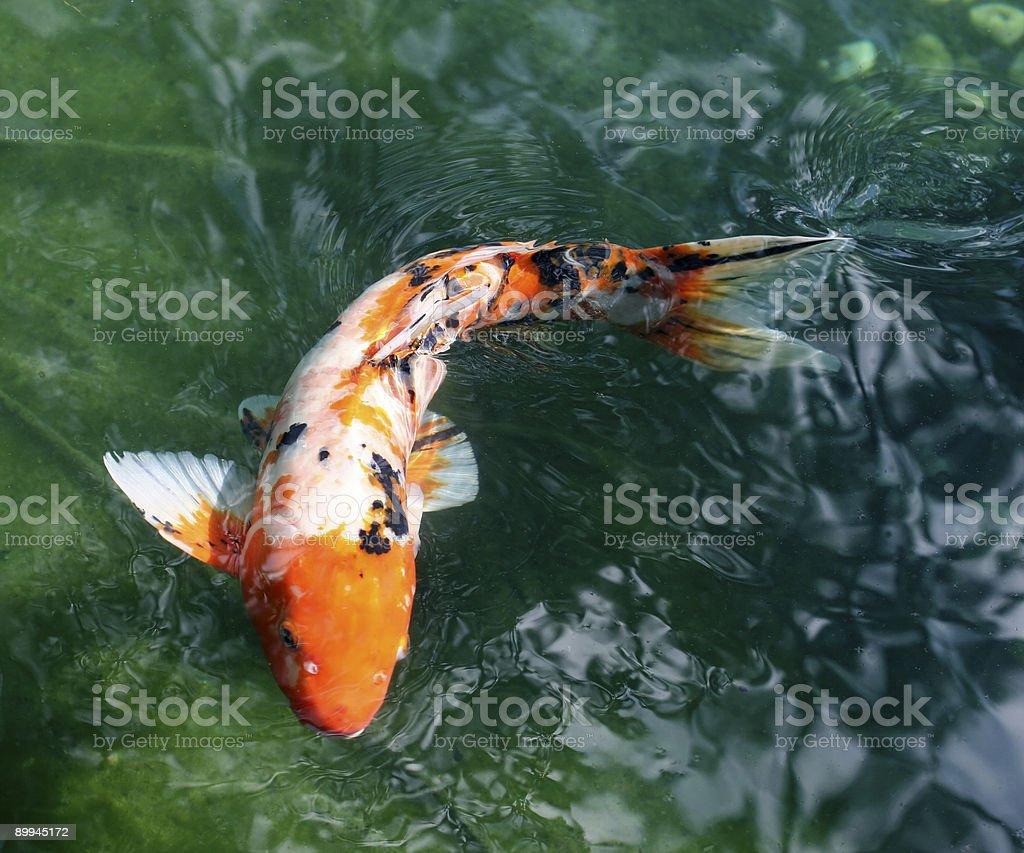 Koi Fish in Japanese Garden stock photo