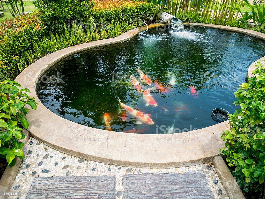 koi fish in koi pond in the garden stock photo