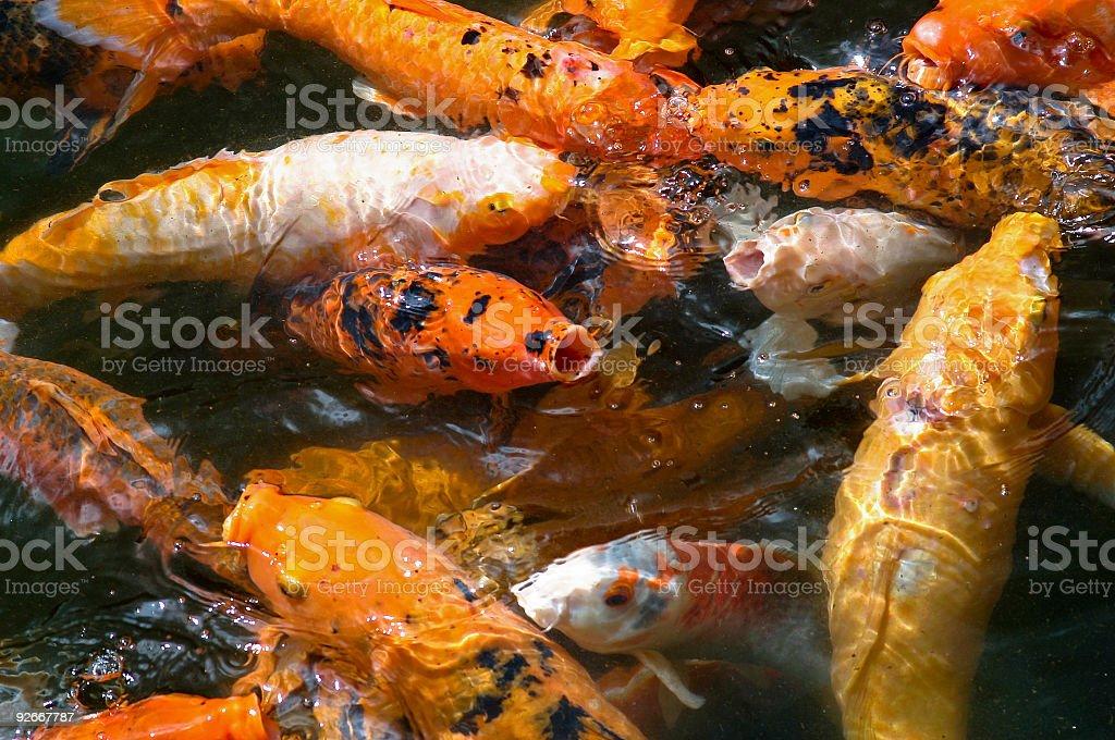 Koi Fish in Pond royalty-free stock photo