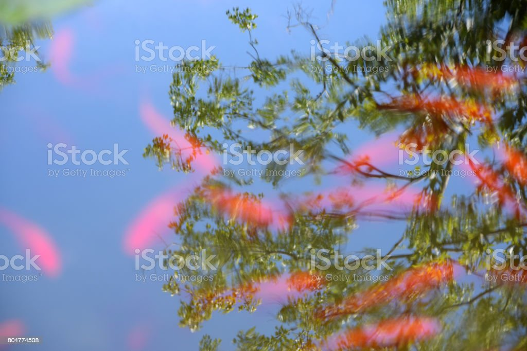 Koi fish in the clear water, with reflection of the treetop on the water surface stock photo