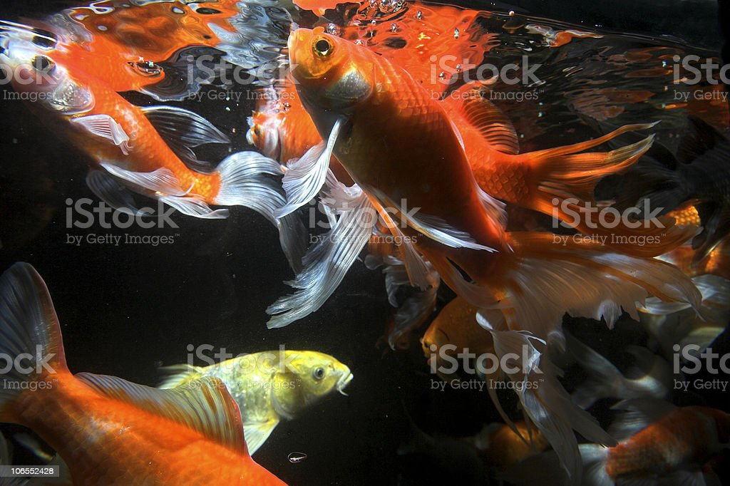 Koi fish royalty-free stock photo