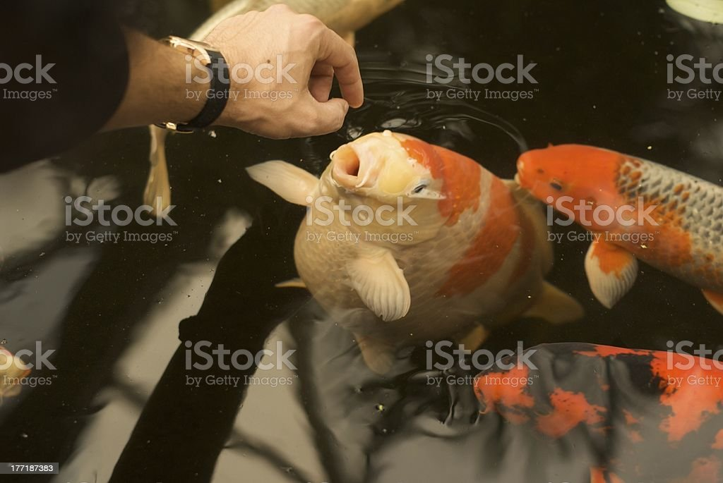 Koi Fish royalty-free stock photo