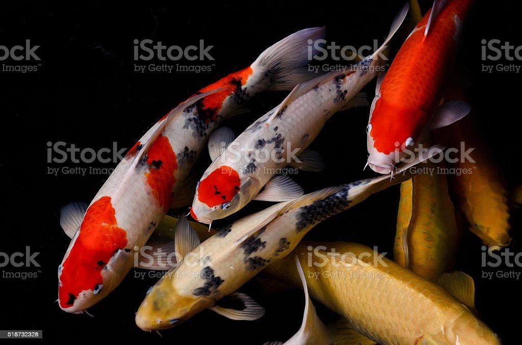Koi fish stock photo