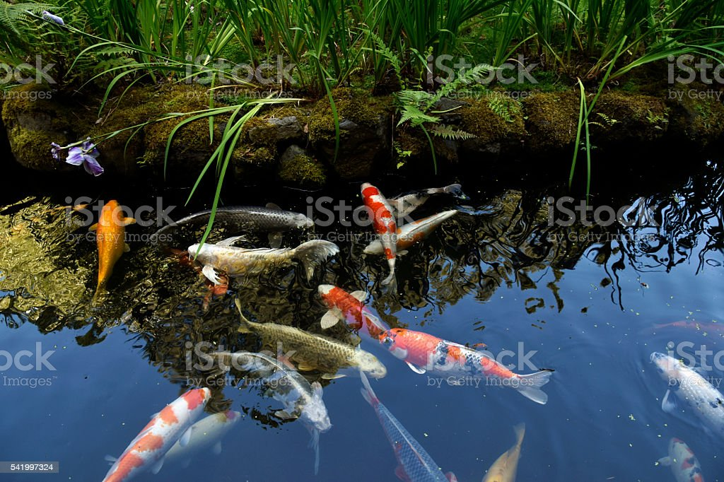 Koi fish pond in Japanese Garden stock photo