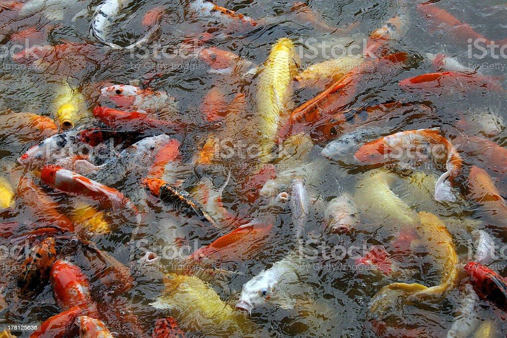 Laghetto con pesci Koi foto stock royalty-free